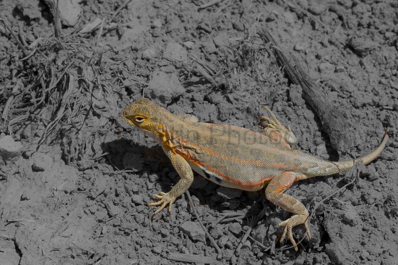 Lesser Earless Lizard (gravid female)<br /> Otero County, Colorado.