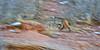 Bobcat running up rocks, Larimer County, Colorado.