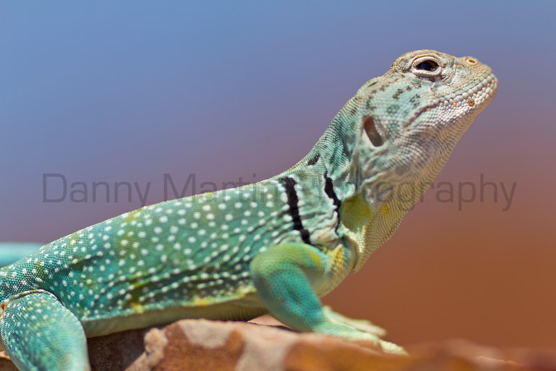 Eastern Collared Lizard<br /> Briscoe County, Texas.