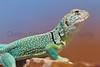 Eastern Collared Lizard Briscoe County, Texas.