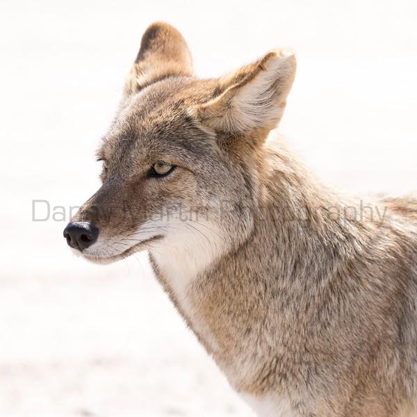 Coyote<br /> Pima County, Arizona