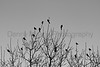 Red-winged Blackbirds at sunrise<br /> Larimer County, Colorado