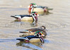 Study of the patterns in color of Wood Ducks
