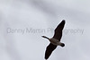 Canada Goose in flight (smoothed)<br /> Fort Collins, Colorado.