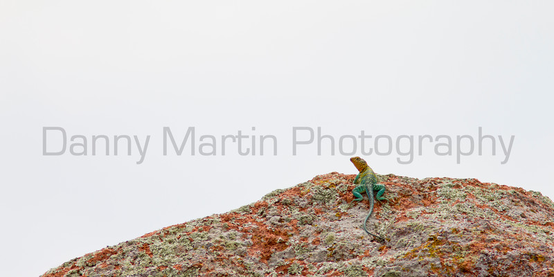 Eastern Collared Lizard<br /> Comanche County, Oklahoma.