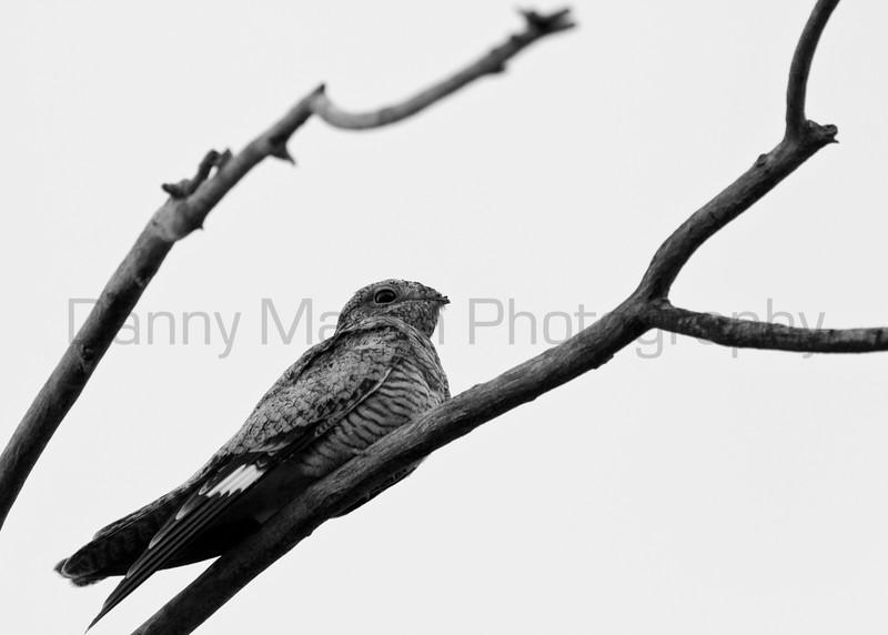 Nighthawk<br /> Muleshoe National Wildlife Refuge, Texas.