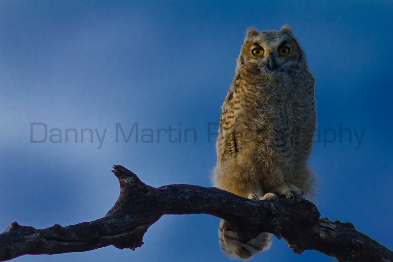 Fledgling Great-horned Owl (saturated, smoothed, etc...)<br /> Bailey County, Texas.