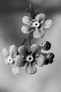 Brunnera macrophylla - Jack Frost - BW