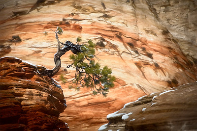 Zion, Bonsai Tree #1