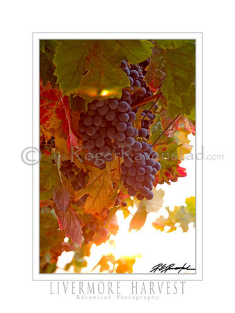 "18X24 Poster: ""LIVERMORE HARVEST""   $49.95"