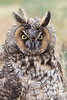 Long-eared Owl (juvenile), Weld County, Colorado