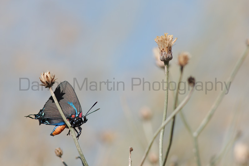 Great Purple Hairstreak<br /> San Diego County, California