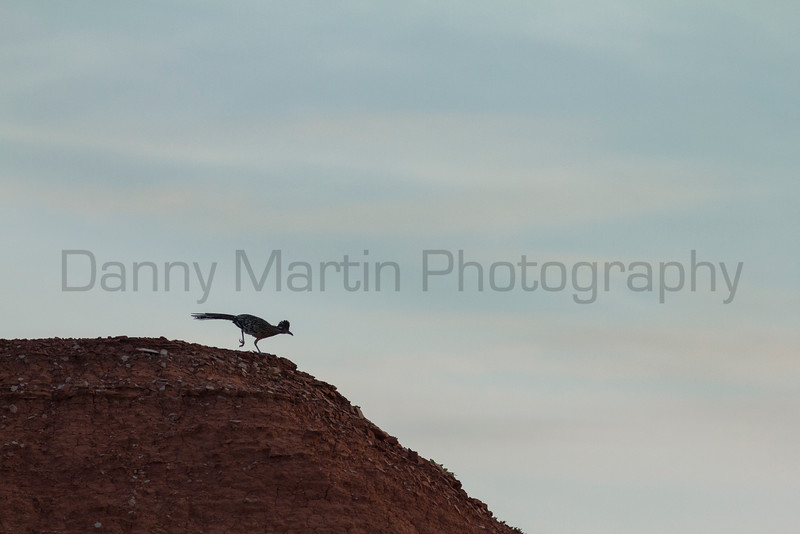 Greater Roadrunner at sunrise<br /> Briscoe County, Texas
