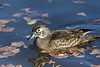 Wood Duck hen<br /> Arapahoe County, Colorado.