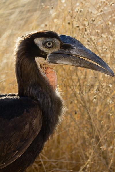 Southern Ground-hornbill (juvenile)<br /> Kruger National Park, South Africa