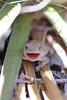 Short-horned Lizard (neonate under yucca)<br /> Pawnee National Grassland, Weld County, Colorado.