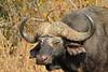 Cape Buffalo (bull)<br /> Kruger National Park, South Africa