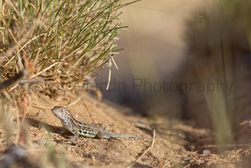 Lesser Earless Lizard (hatchling)<br /> El Paso County, Colorado