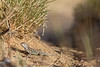 Lesser Earless Lizard (hatchling)<br /> El Paso County, Colorado