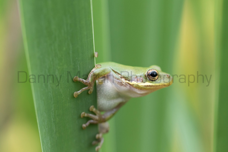 Squirrel Treefrog<br /> Jefferson Parish, Louisiana