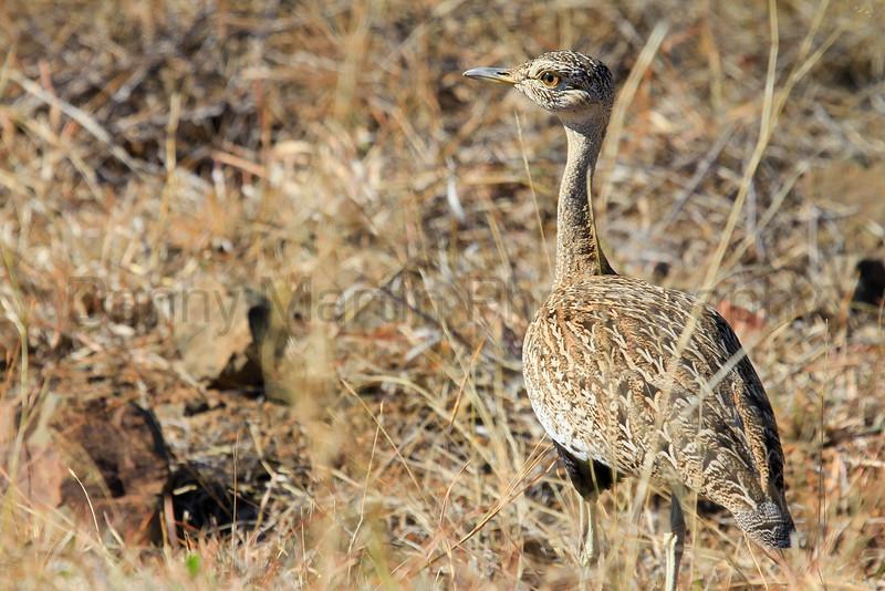 Red-crested Korhaan (Bustard)<br /> Kruger National Park, South Africa