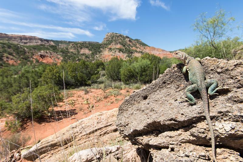 Eastern Collared Lizard<br /> Randall County, Texas