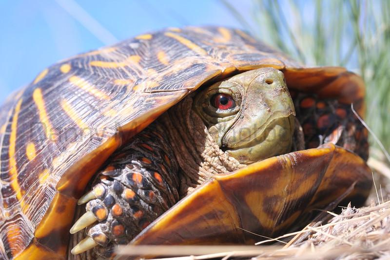 Ornate Box Turtle (male)<br /> southeastern Colorado