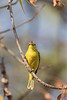 Common Iora eating a spider<br /> Karnataka, India