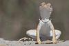 Eastern Collared Lizard (female)<br /> Randall County, Texas
