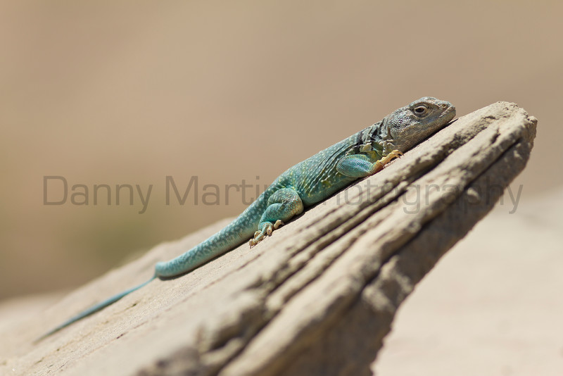 Eastern Collared Lizard (male)<br /> Randall County, Texas
