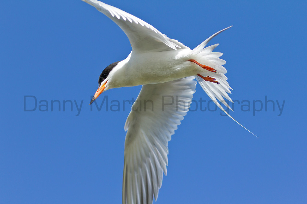 Forster's Tern<br /> North Park, Jackson County, Colorado