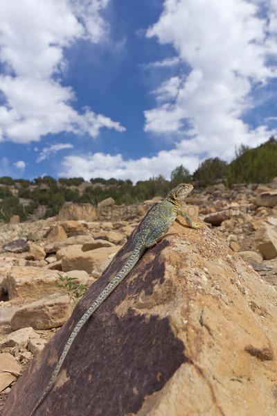Collared Lizard (gravid female)<br /> Comanche National Grassland, Las Animas County, Colorado