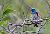 Lazuli Bunting (male)<br /> Lory State Park, Larimer County, Colorado.