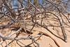 Colorado Desert Fringe-toed Lizard<br /> Imperial County, California.