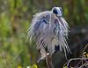 Grey Heron, drying off<br /> Kruger National Park, South Africa