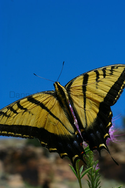 Two-tailed Tiger Swallowtail<br /> Las Animas County, Colorado