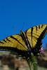 Western Tiger Swallowtail<br /> Las Animas County, Colorado