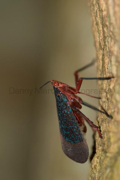 Fulgorid planthopper (Lanternfly)<br /> Kerala, India