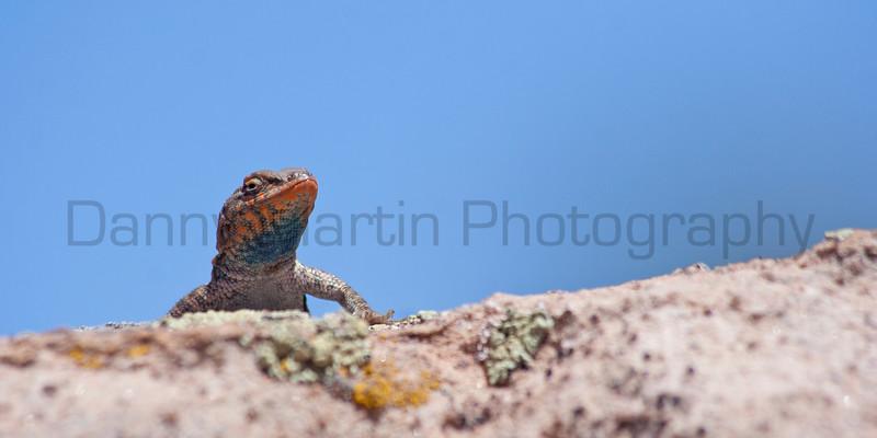 Common Side-blotched Lizard<br /> Natural Bridges National Monument, San Juan County, Utah
