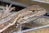 Prairie Lizard<br /> Roger Mills County, Oklahoma