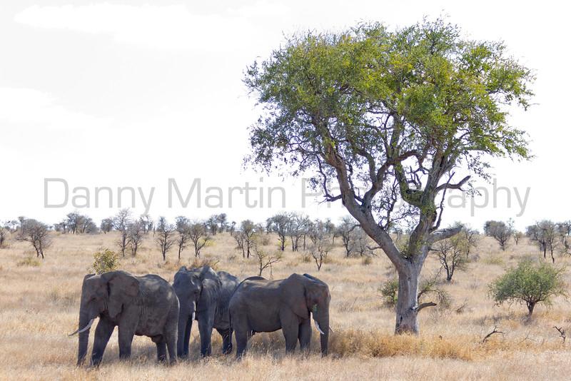 African Elephant bulls<br /> Kruger National Park, South Africa