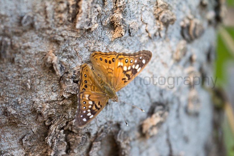Hackberry Emperor<br /> Muleshoe National Wildlife Refuge, Texas