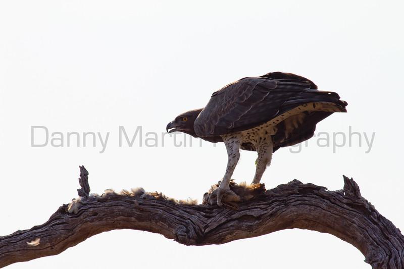 Martial Eagle with Francolin<br /> Kruger National Park, South Africa