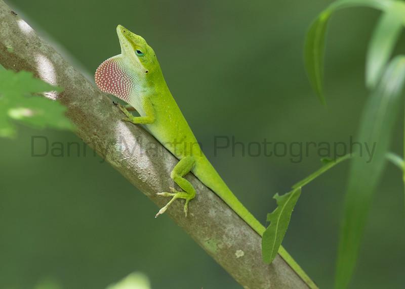 Green Anole (male displaying)<br /> Tangipahoa Parish, Louisiana