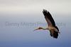 Yellow-billed Stork (in flight)<br /> Kruger National Park, South Africa