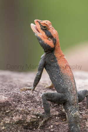 Blanford's Rock Agama<br /> Telangana, India