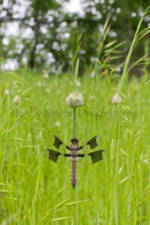 Common Whitetail (immature male)<br /> Coffey County, Kansas