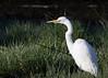 Grey Egret<br /> Kruger National Park, South Africa