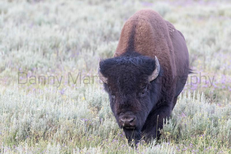 American Bison bull<br /> northwestern Wyoming