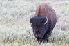 American Bison bull<br /> northwestern Wyoming